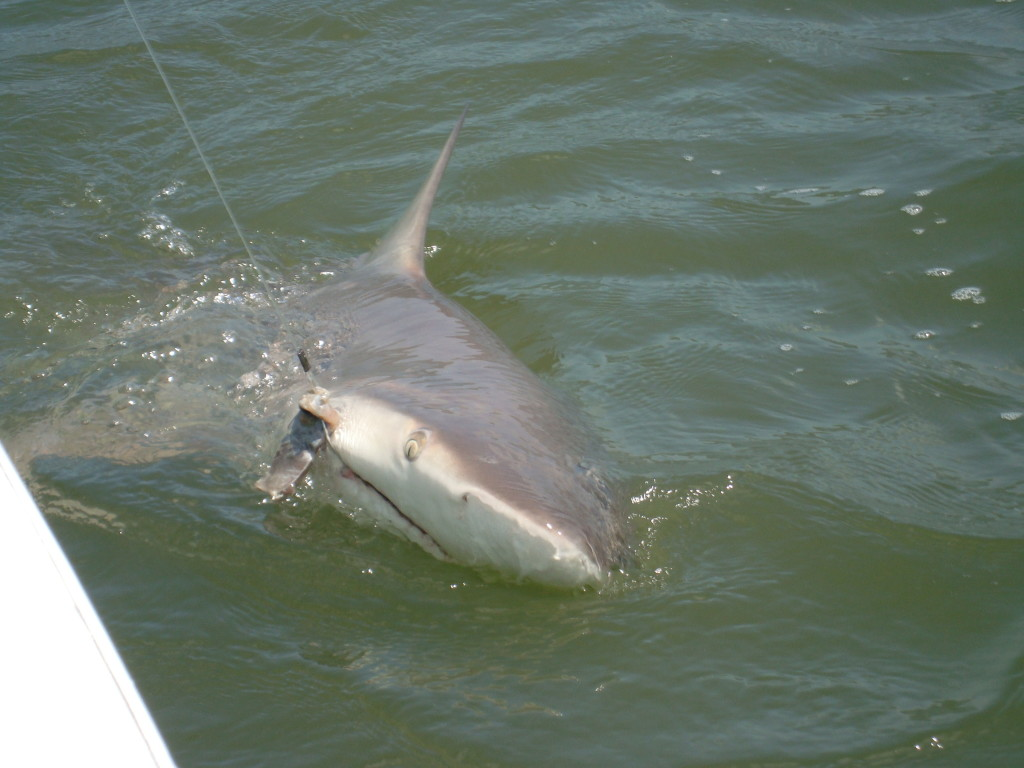 Gallery for Shark fishing charters