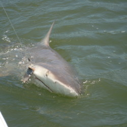 Jekyll Island Shark Fishing Charters