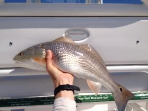 Redfish Caught at St Simons Island