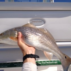 Redfish Caught at St Simons Island